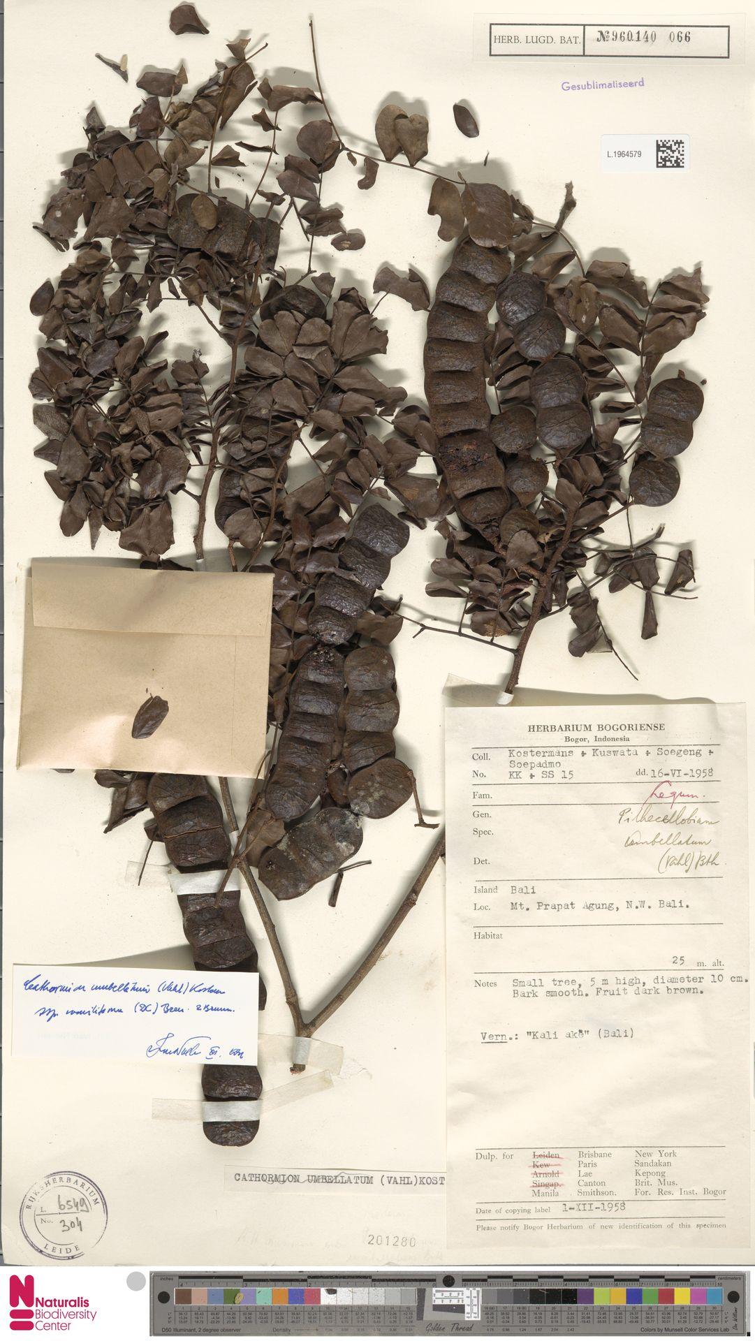 L.1964579 | Cathormion umbellatum subsp. moniliforme (DC.) Brummitt