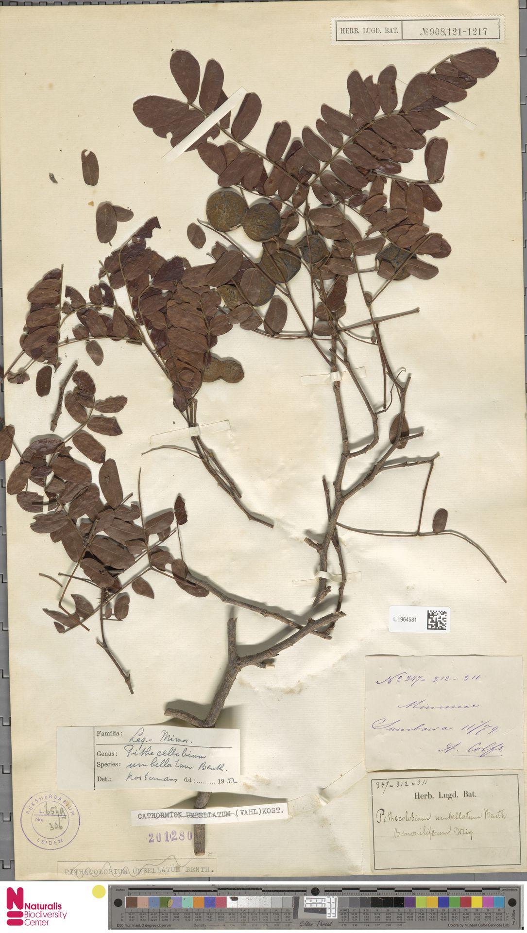 L.1964581 | Cathormion umbellatum subsp. moniliforme (DC.) Brummitt