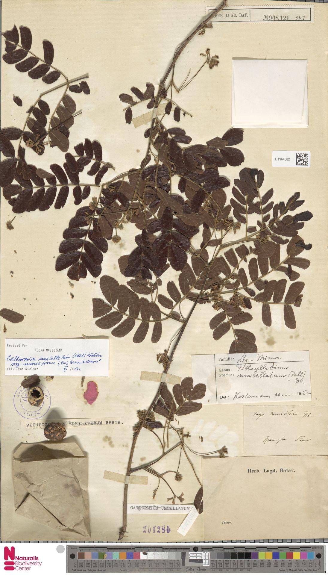 L.1964582 | Cathormion umbellatum subsp. moniliforme (DC.) Brummitt