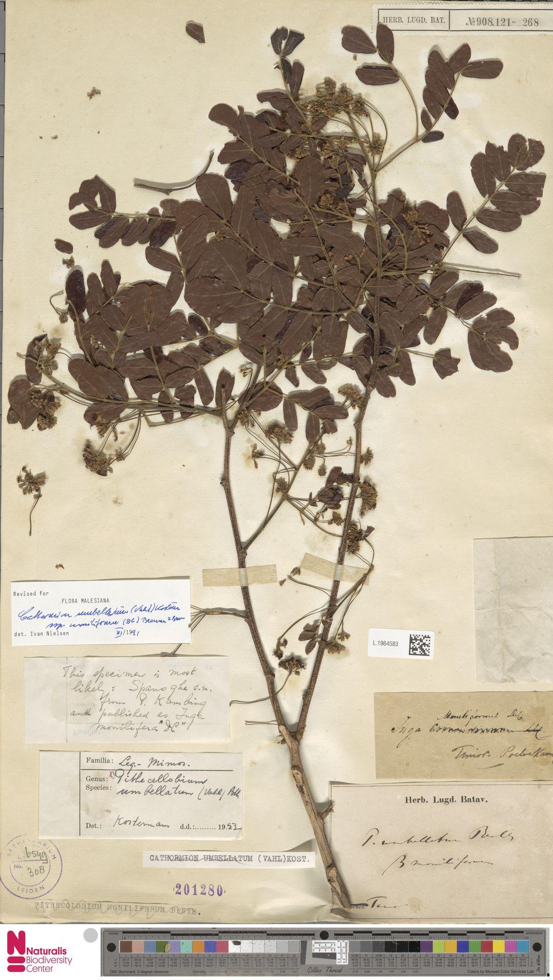 L.1964583 | Cathormion umbellatum subsp. moniliforme (DC.) Brummitt