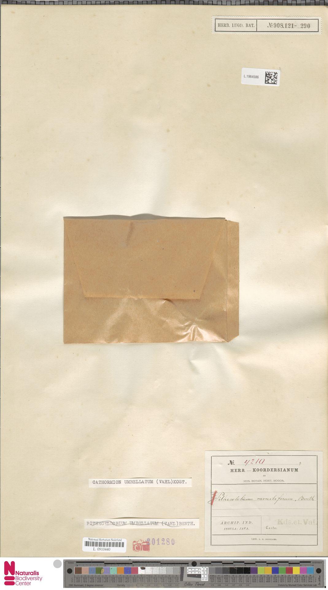 L.1964586 | Cathormion umbellatum (Vahl) Kosterm.