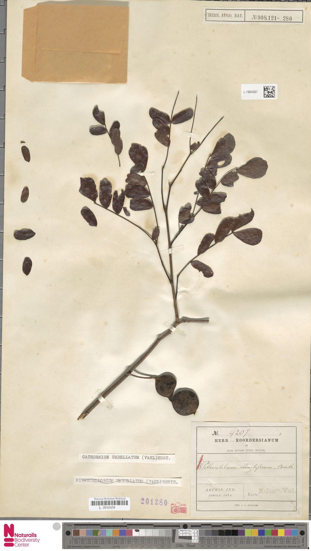 L.1964587 | Cathormion umbellatum (Vahl) Kosterm.