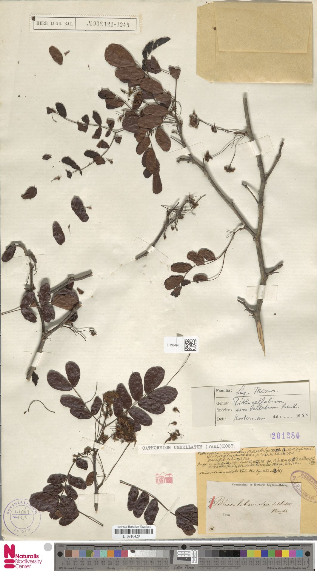 L.1964594   Cathormion umbellatum (Vahl) Kosterm.