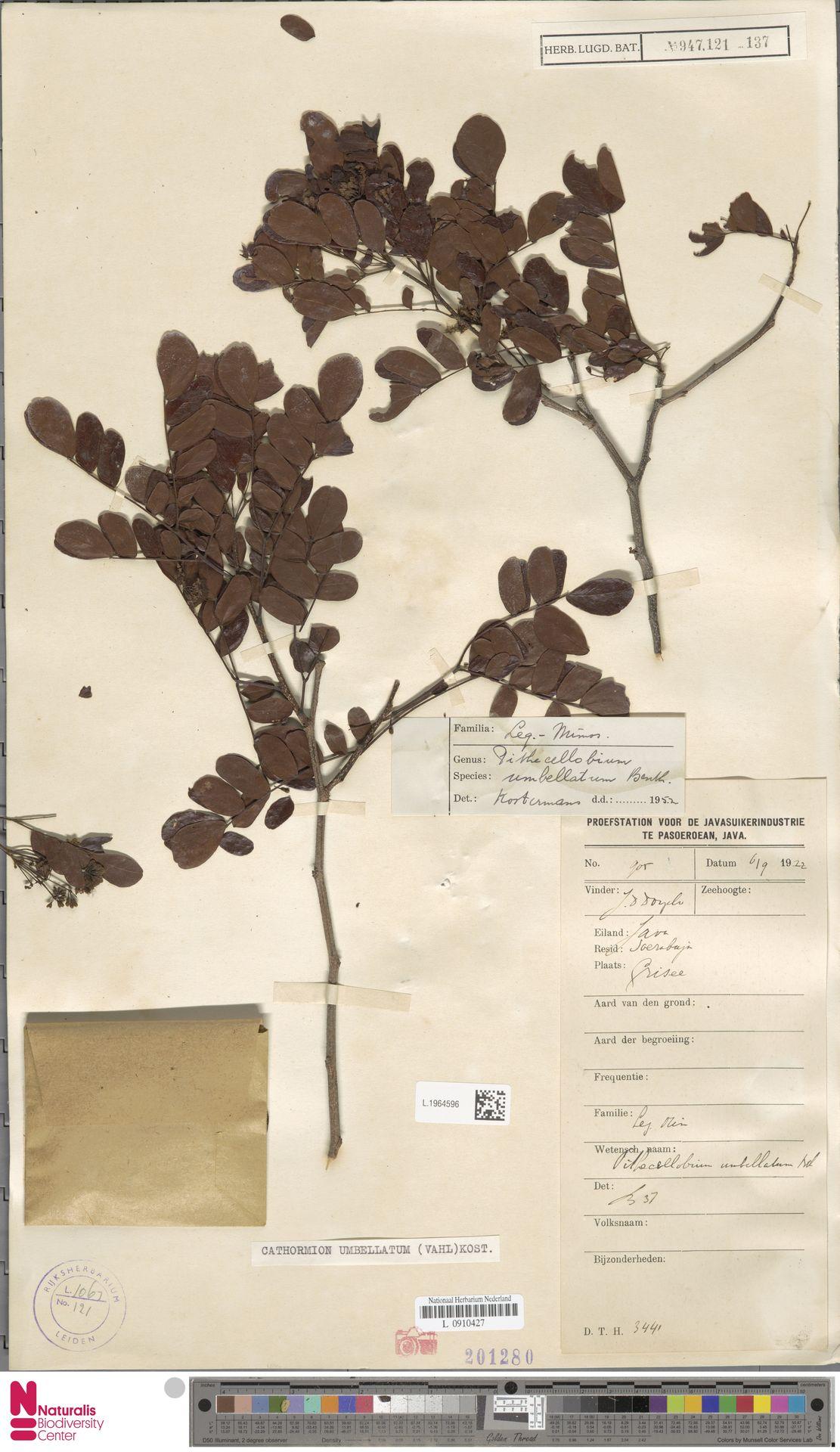 L.1964596 | Cathormion umbellatum (Vahl) Kosterm.