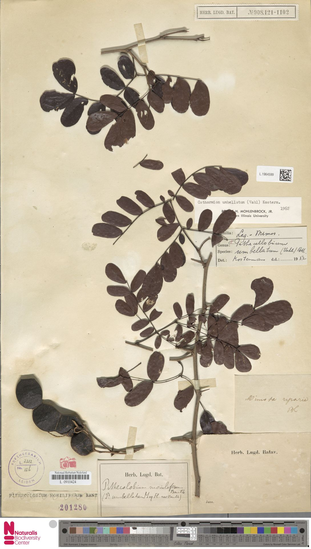 L.1964599 | Cathormion umbellatum (Vahl) Kosterm.