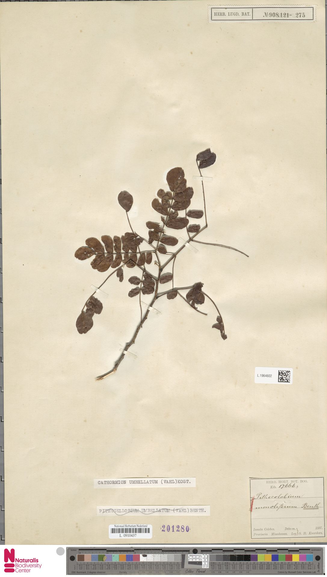 L.1964602 | Cathormion umbellatum (Vahl) Kosterm.