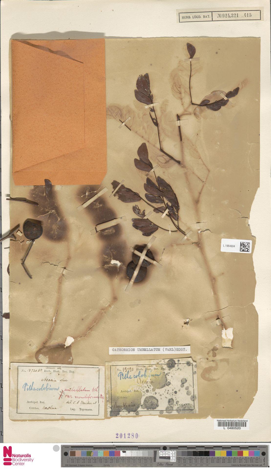 L.1964604 | Cathormion umbellatum subsp. moniliforme (DC.) Brummitt
