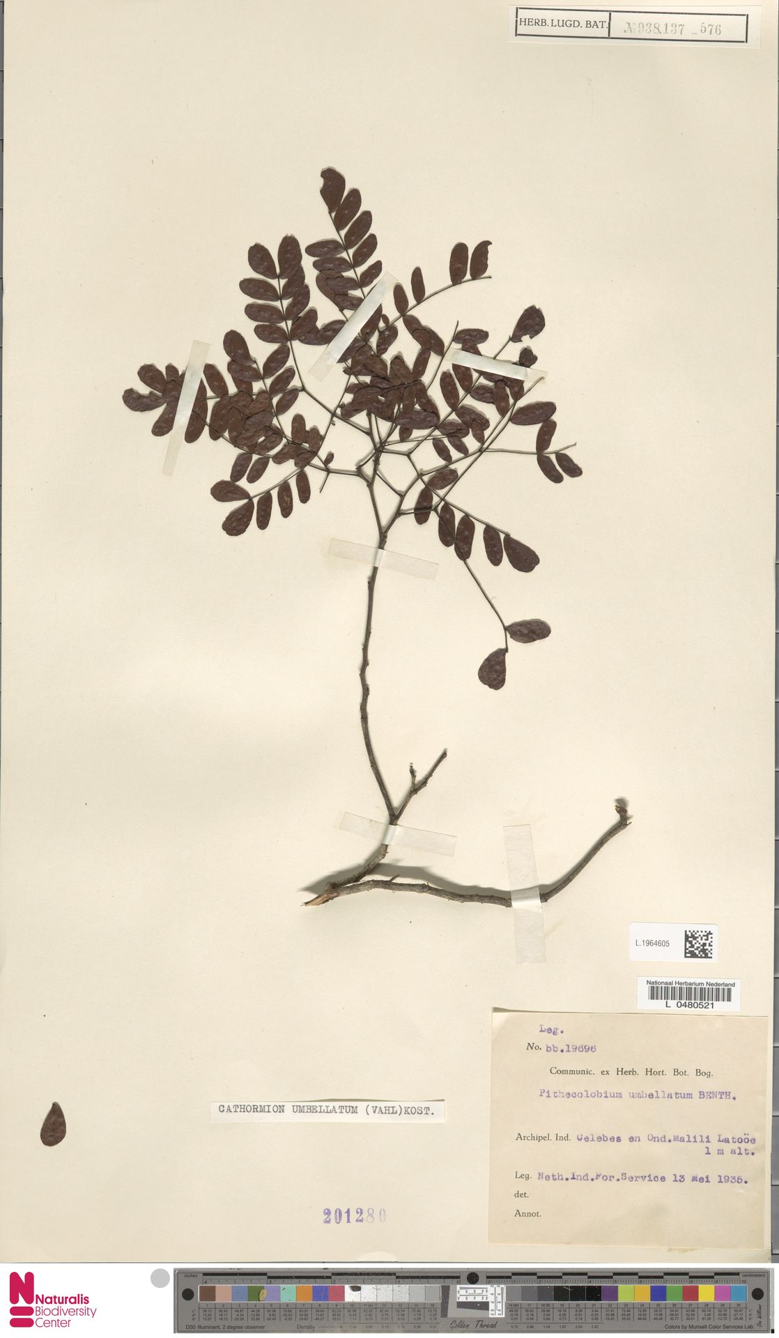 L.1964605 | Cathormion umbellatum (Vahl) Kosterm.
