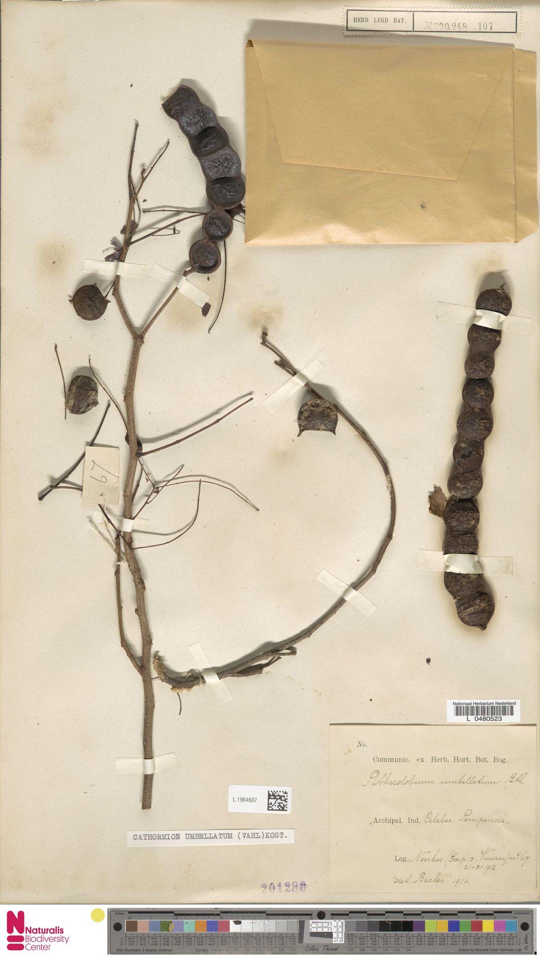 L.1964607 | Cathormion umbellatum (Vahl) Kosterm.