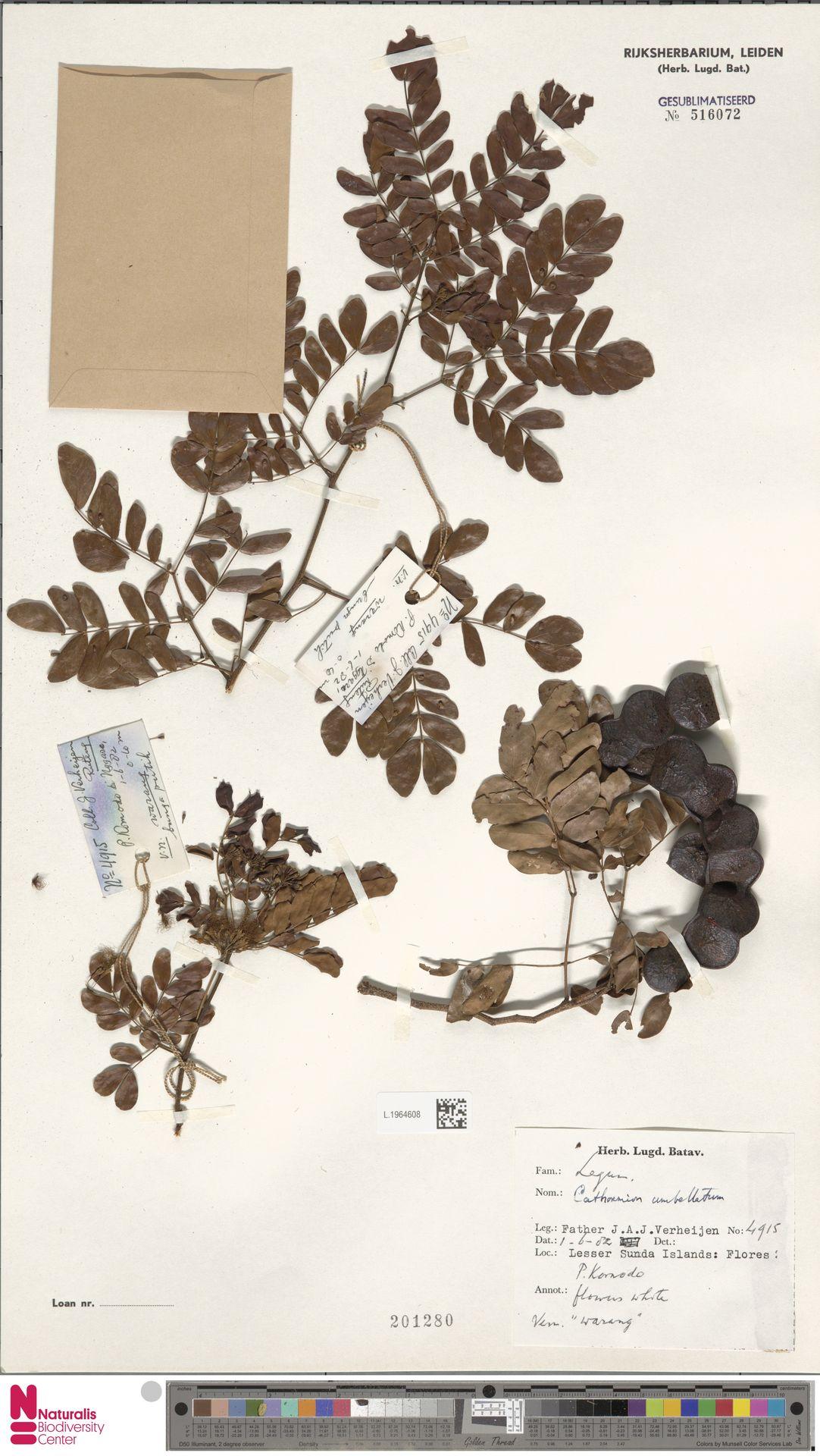 L.1964608 | Cathormion umbellatum (Vahl) Kosterm.