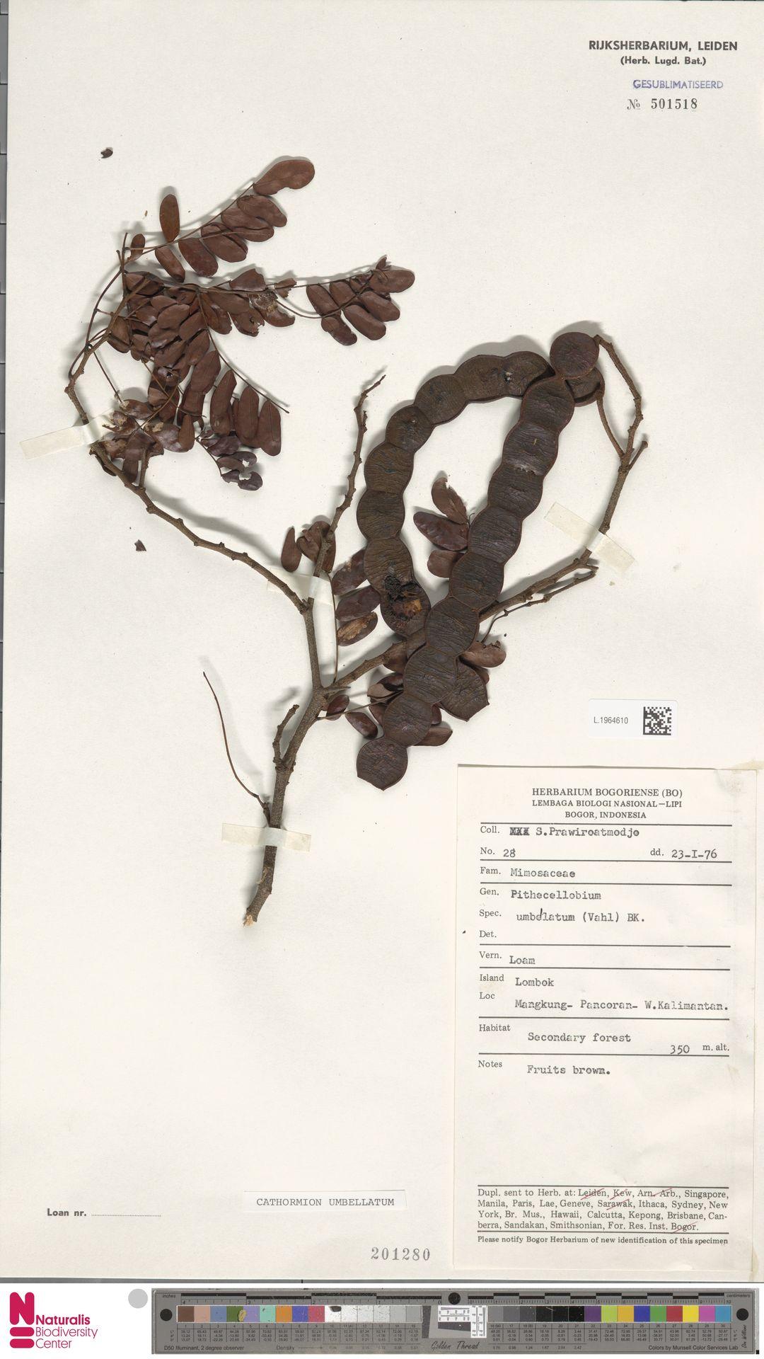 L.1964610 | Cathormion umbellatum (Vahl) Kosterm.