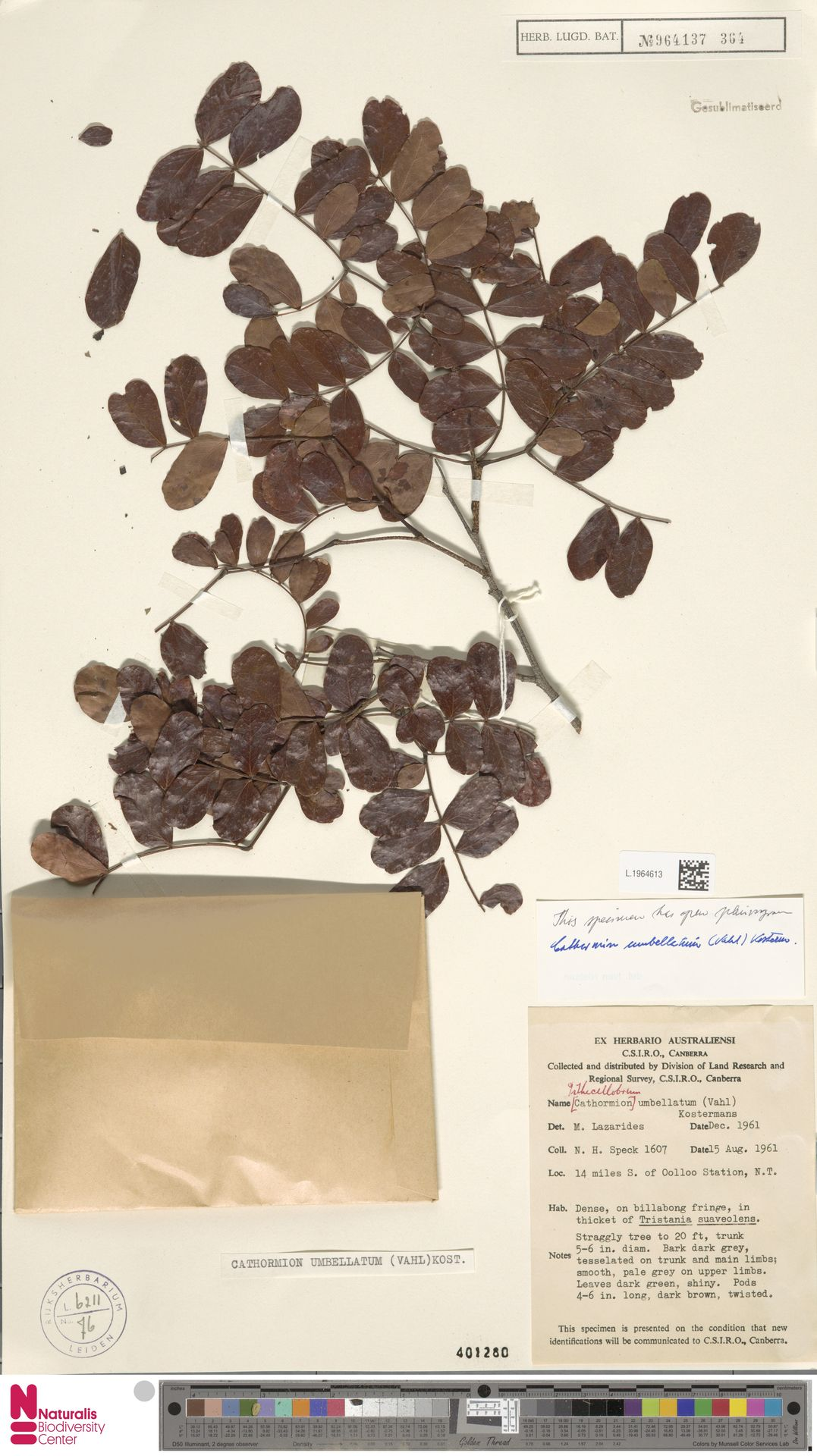 L.1964613 | Cathormion umbellatum (Vahl) Kosterm.