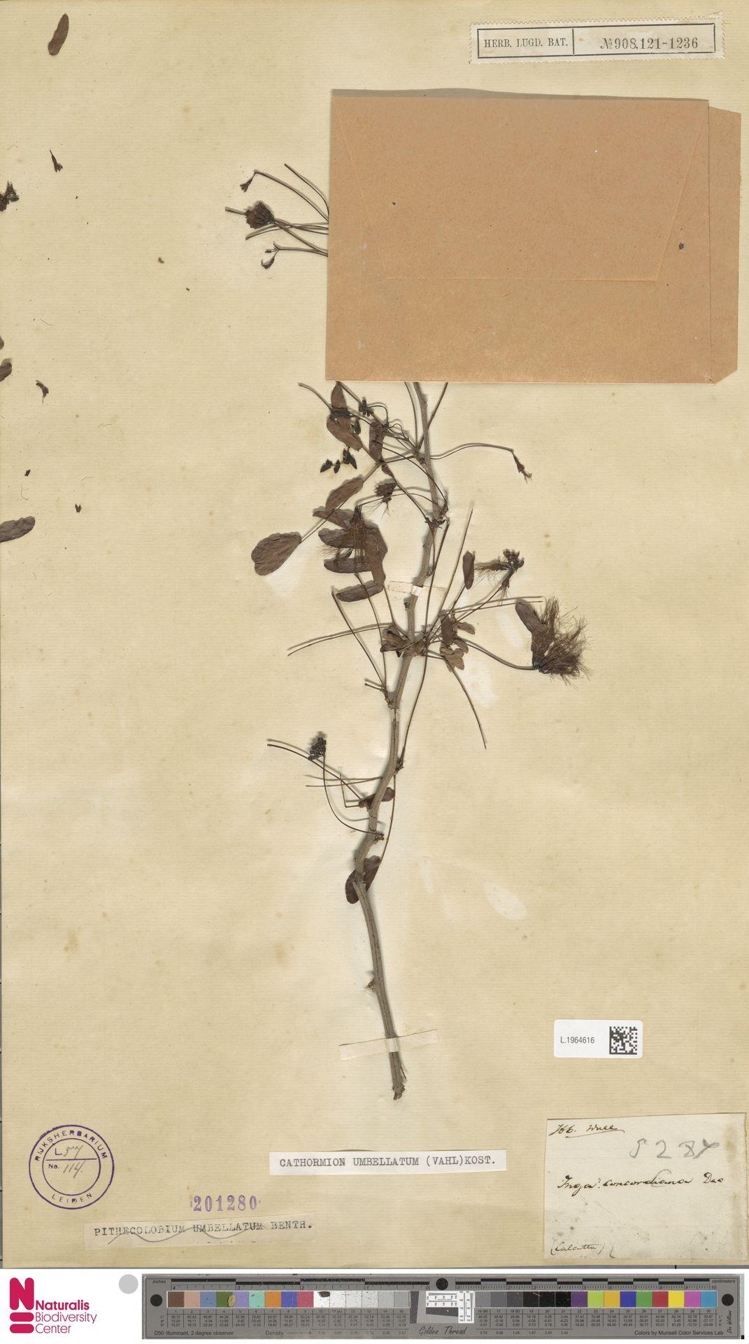 L.1964616 | Cathormion umbellatum (Vahl) Kosterm.