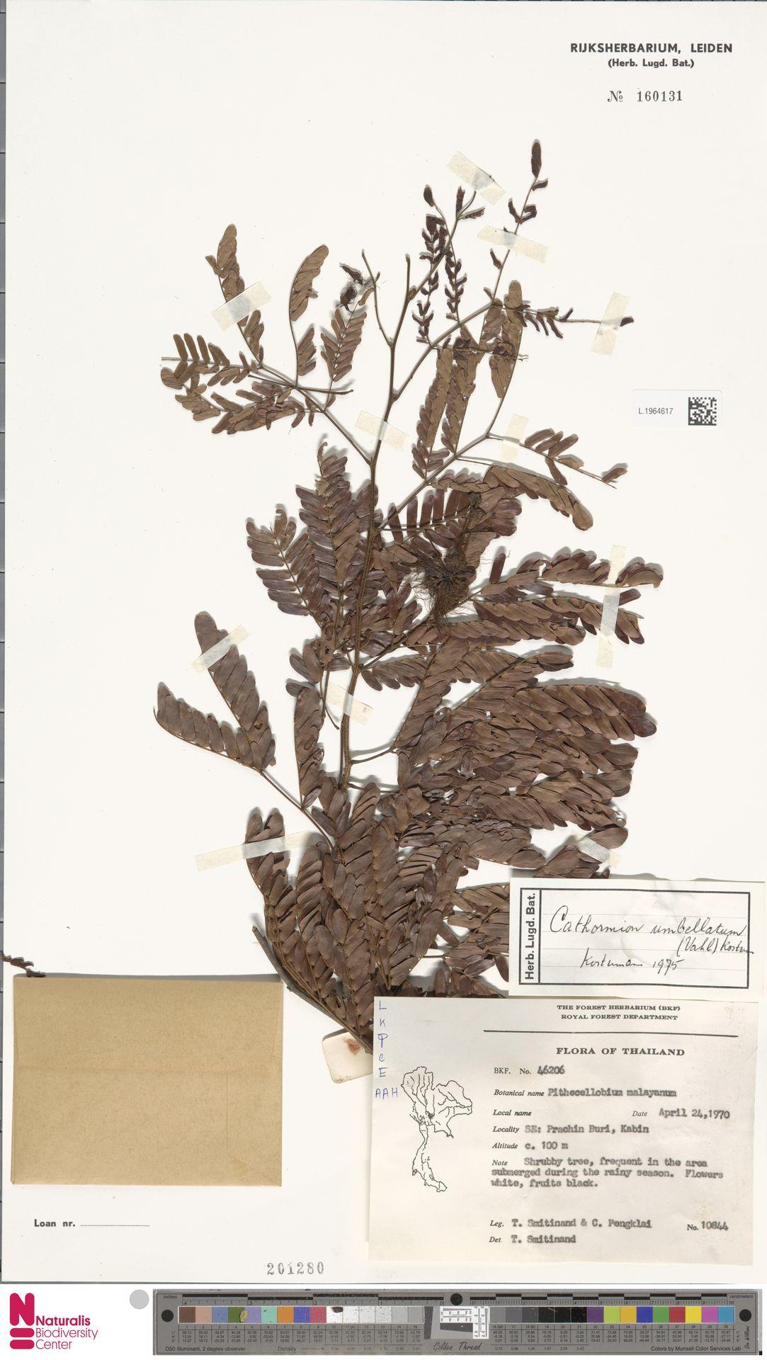 L.1964617 | Cathormion umbellatum (Vahl) Kosterm.