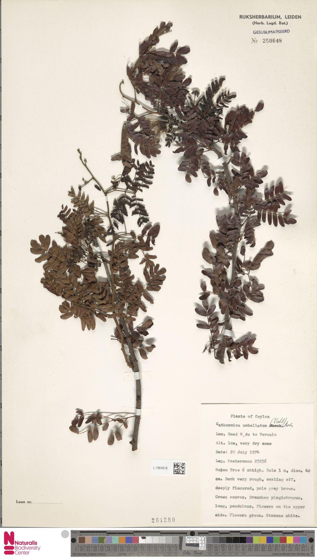 L.1964618 | Cathormion umbellatum (Vahl) Kosterm.