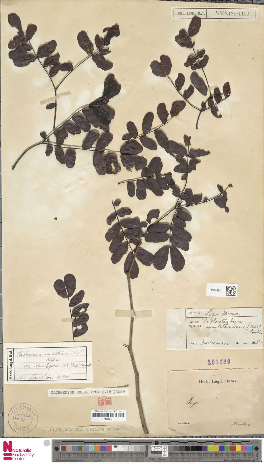 L.1964623 | Cathormion umbellatum (Vahl) Kosterm.