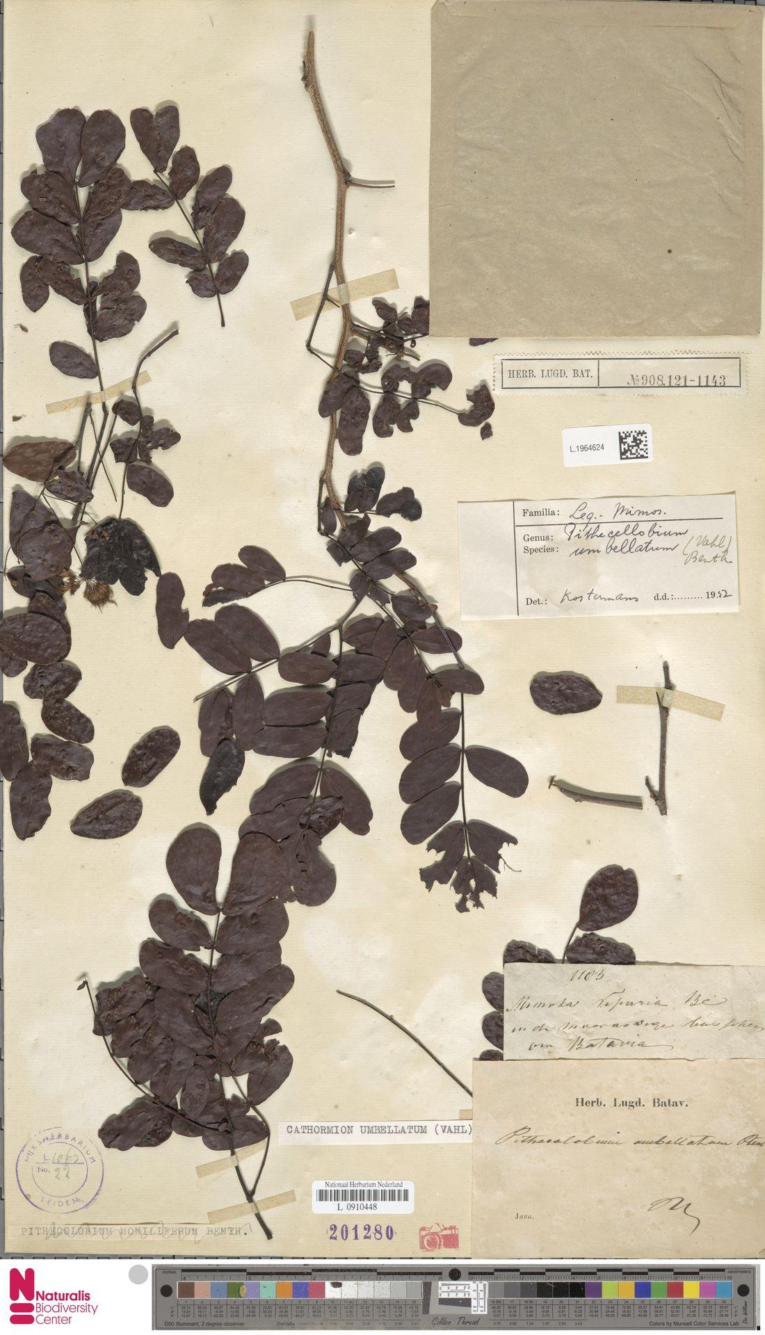 L.1964624 | Cathormion umbellatum (Vahl) Kosterm.