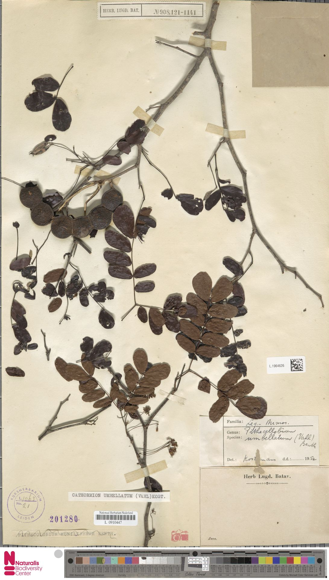 L.1964626 | Cathormion umbellatum (Vahl) Kosterm.