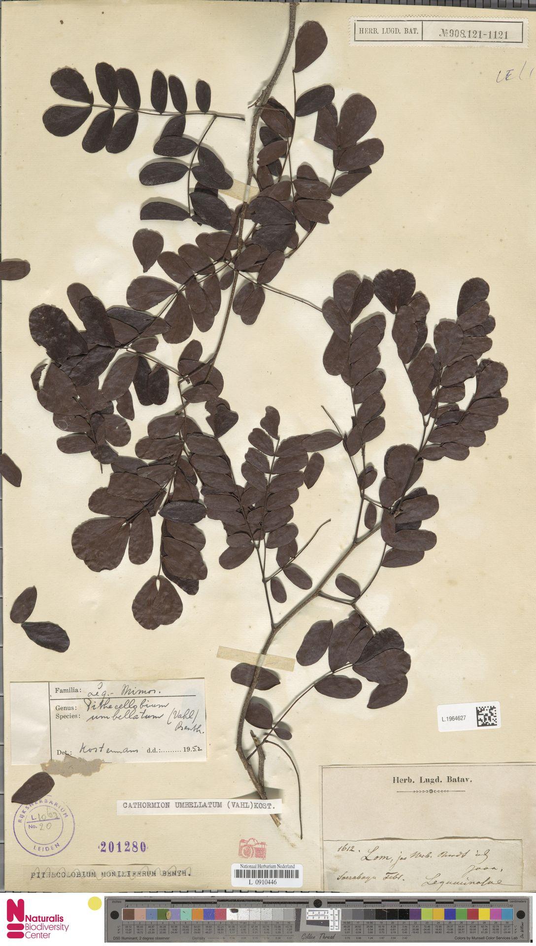 L.1964627 | Cathormion umbellatum (Vahl) Kosterm.