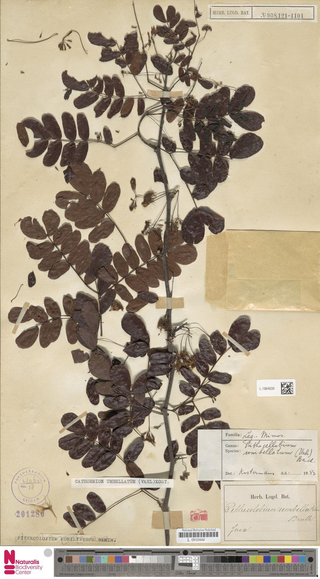 L.1964630 | Cathormion umbellatum (Vahl) Kosterm.
