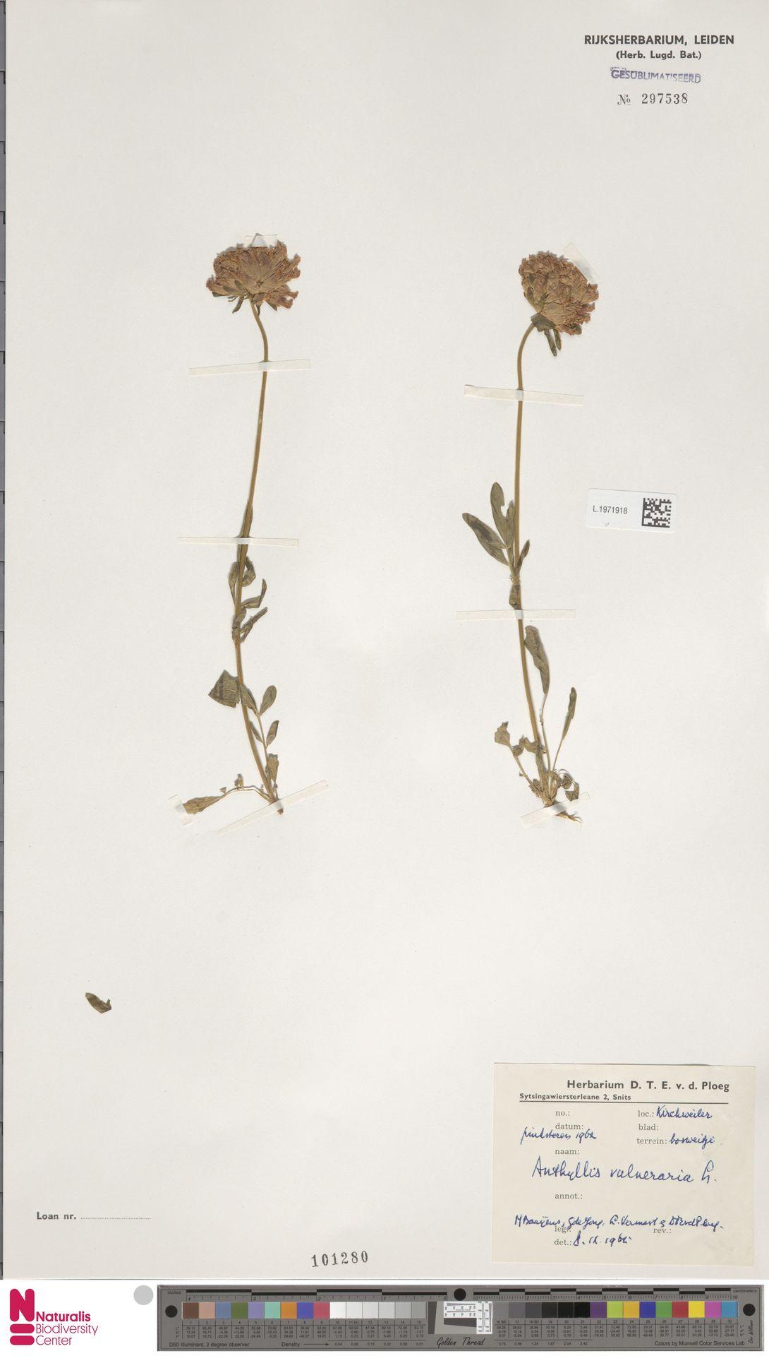 L.1971918 | Anthyllis vulneraria L.