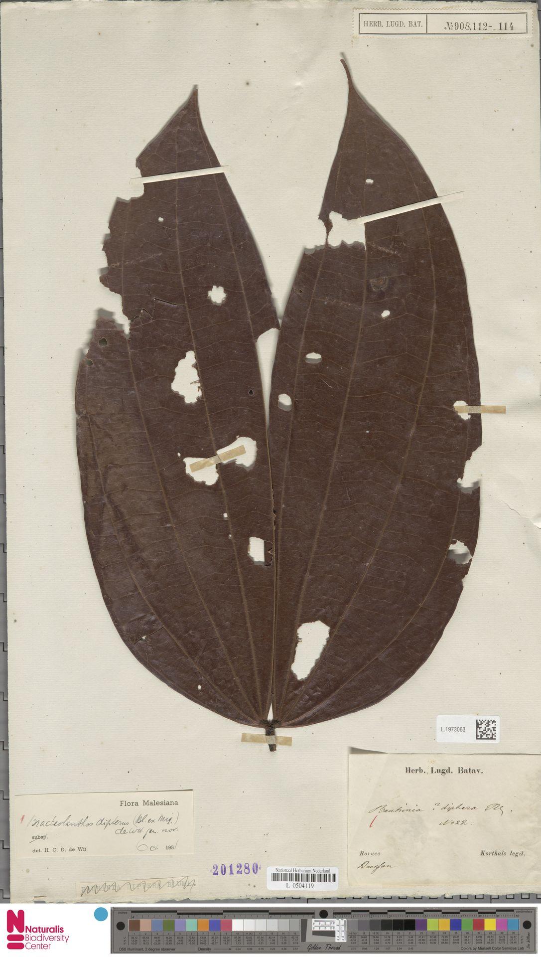 L.1973063 | Bracteolanthus dipterus (Miq.) de Wit