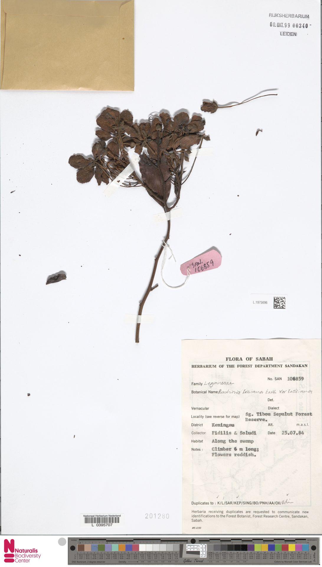 L.1975696 | Bauhinia kockiana var. kockiana