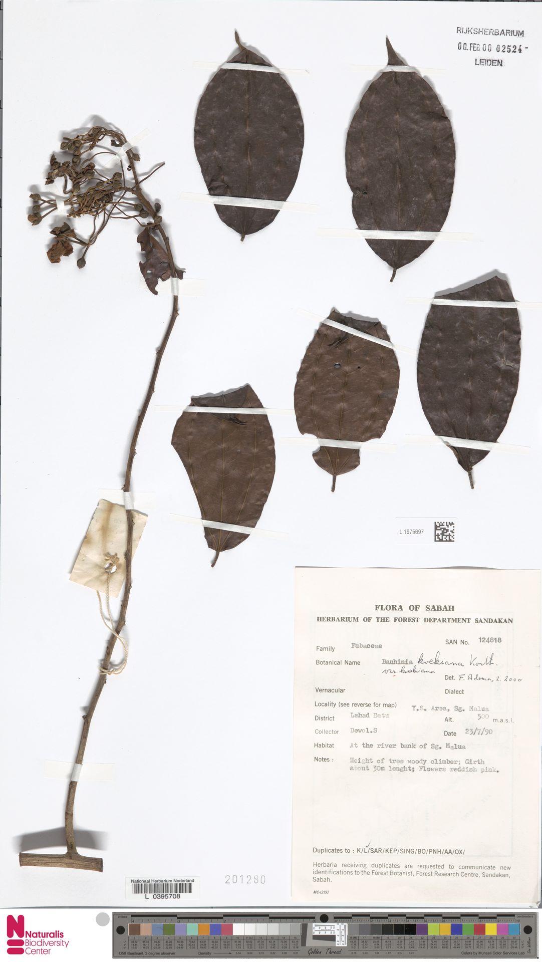 L.1975697 | Bauhinia kockiana var. kockiana
