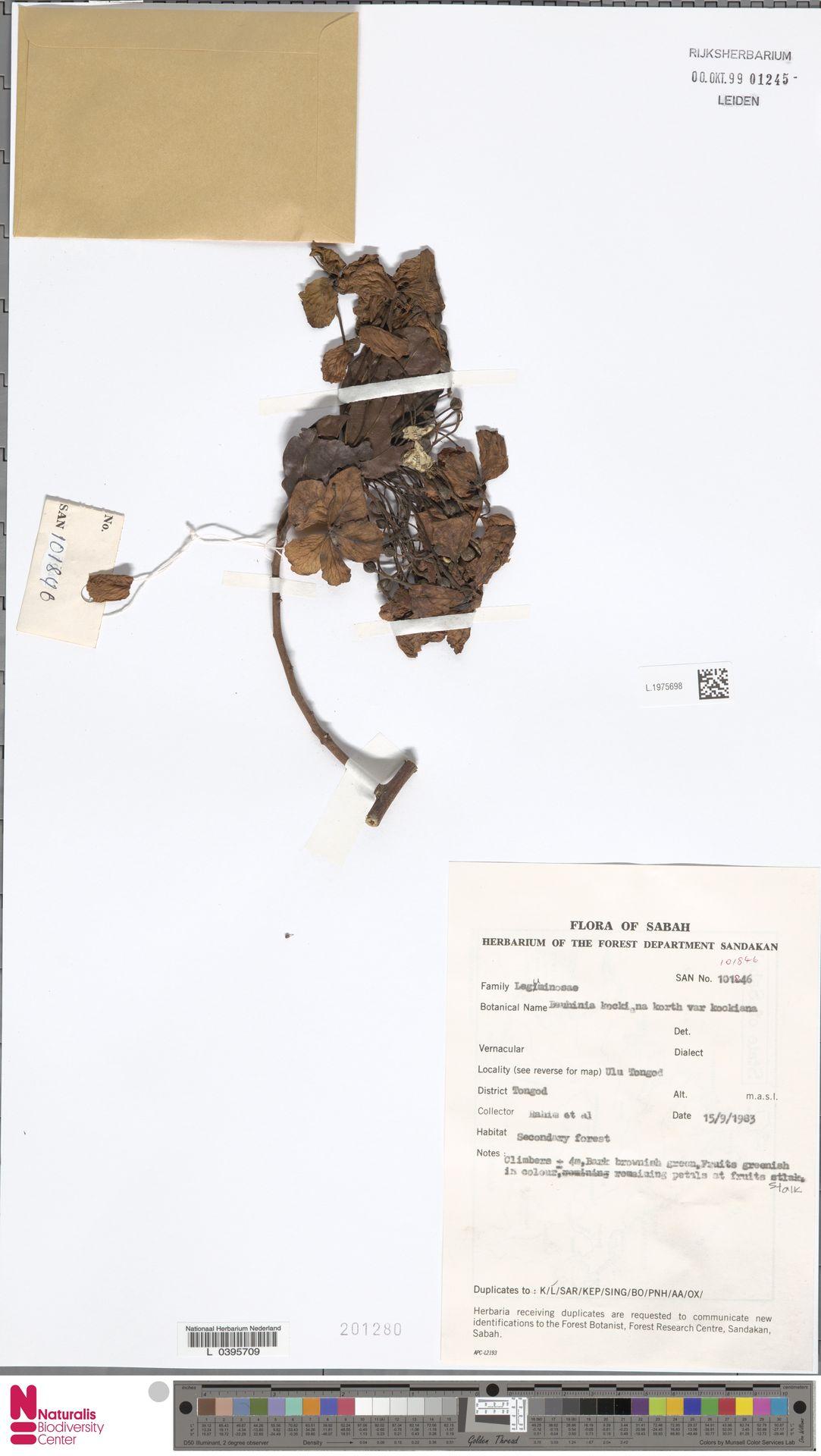 L.1975698 | Bauhinia kockiana var. kockiana