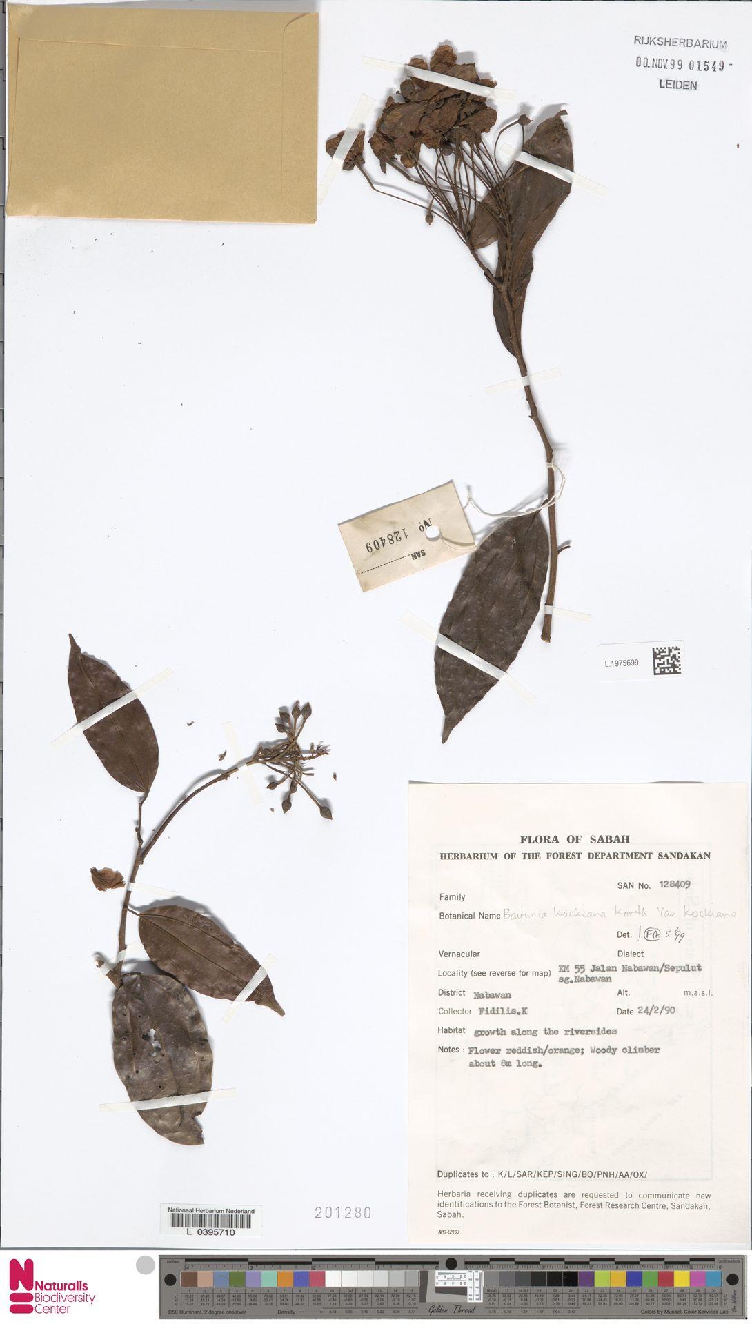 L.1975699 | Bauhinia kockiana var. kockiana