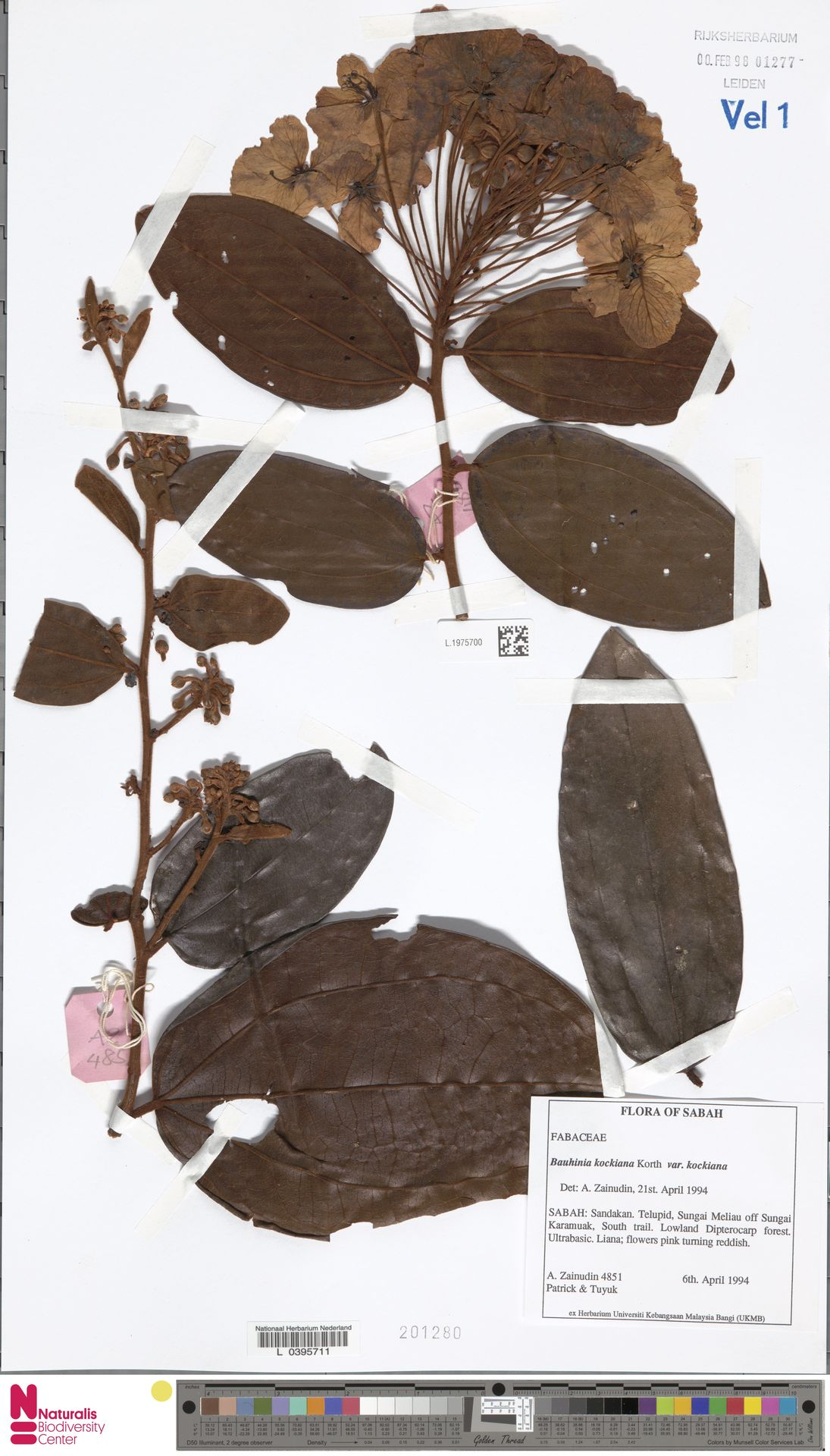 L.1975700 | Bauhinia kockiana var. kockiana