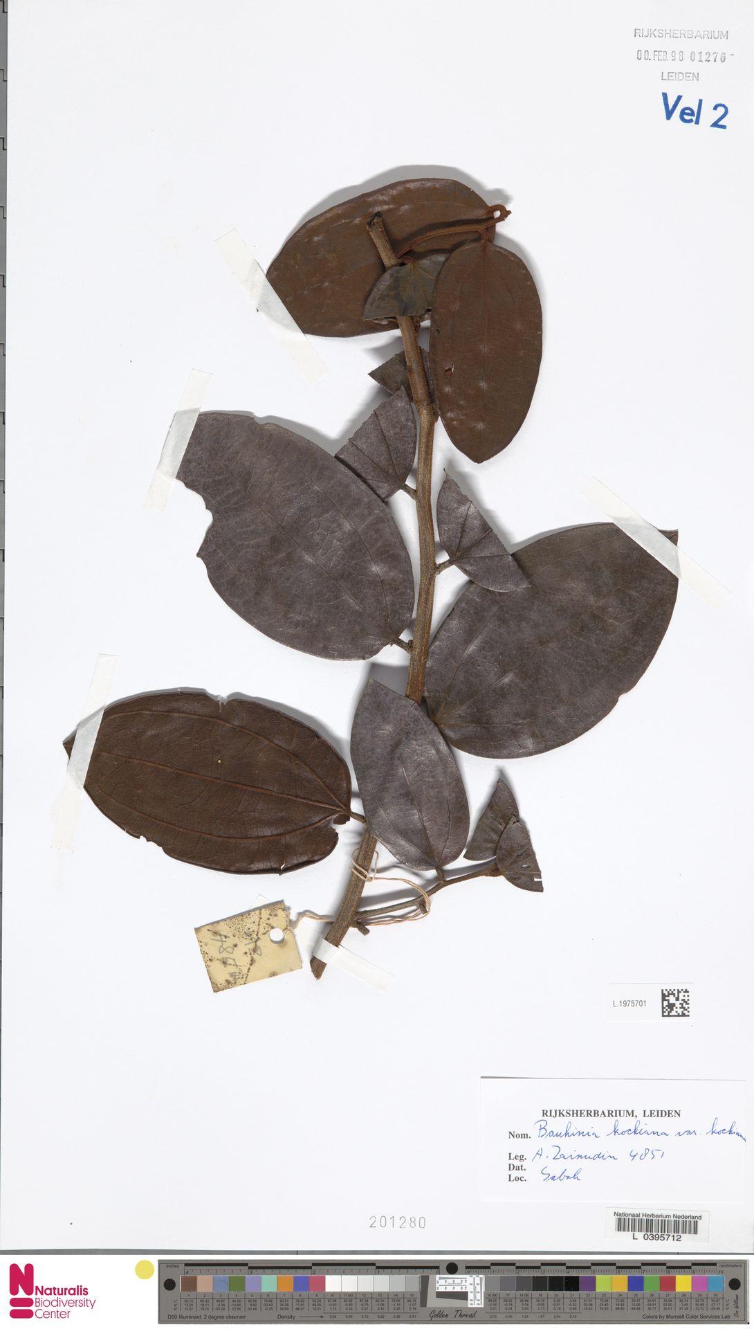 L.1975701 | Bauhinia kockiana var. kockiana