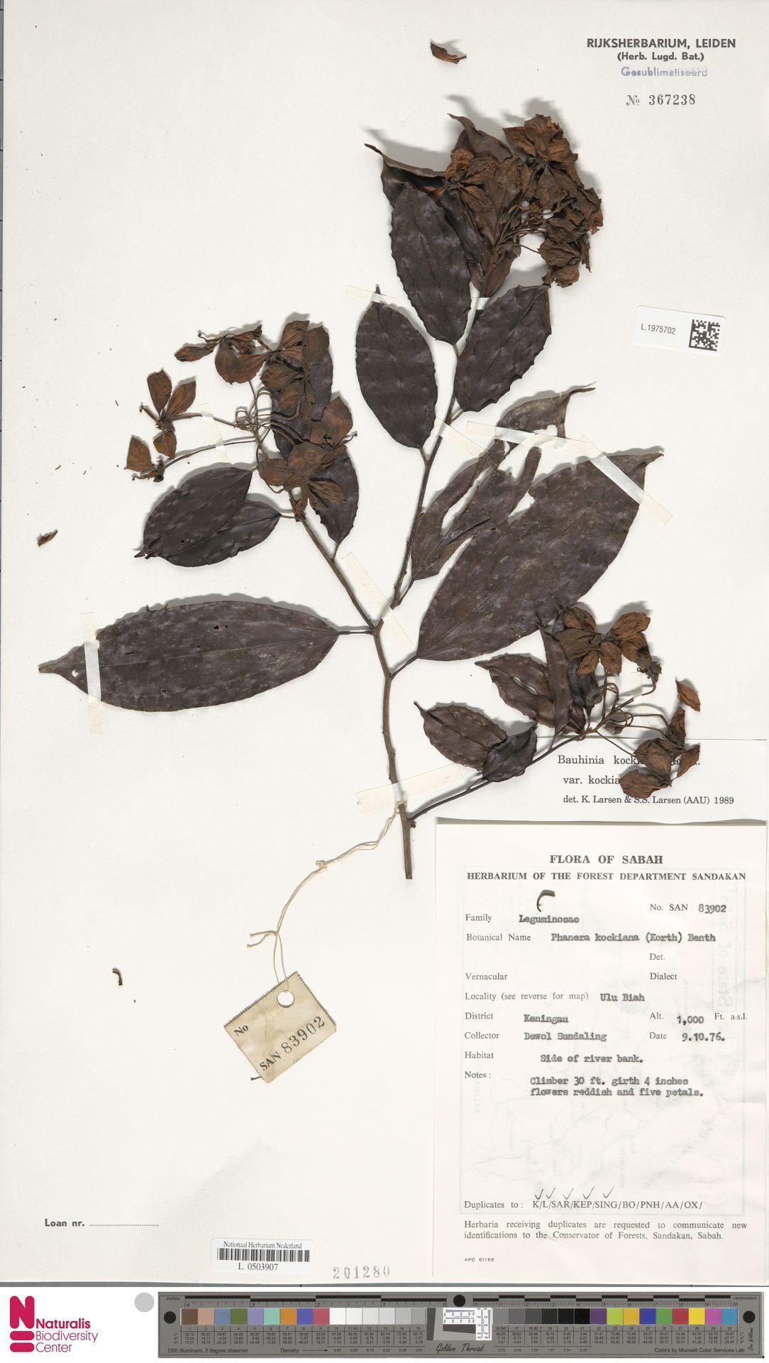 L.1975702 | Bauhinia kockiana var. kockiana