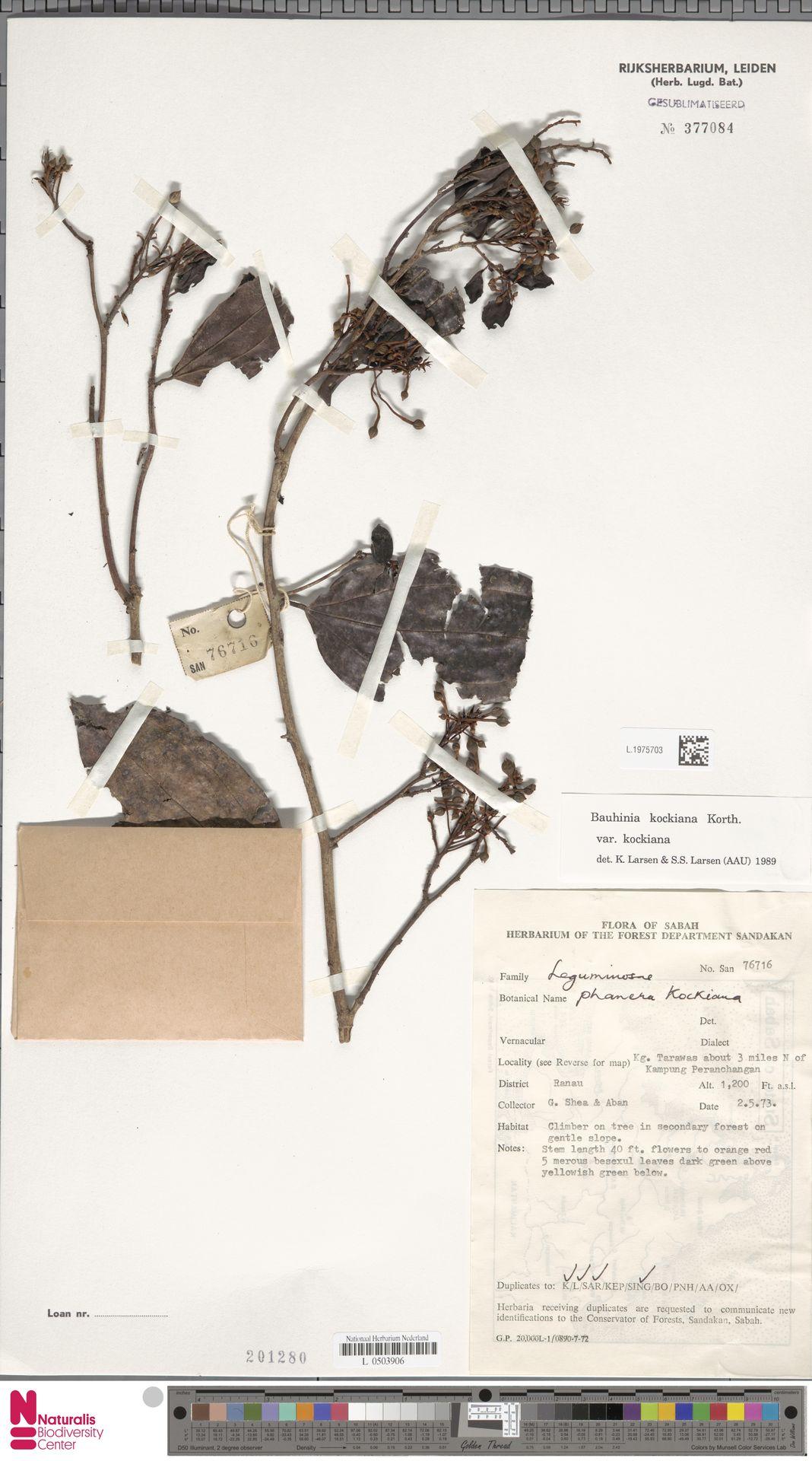 L.1975703 | Bauhinia kockiana var. kockiana