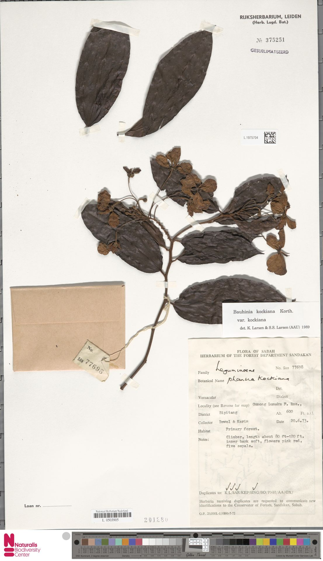 L.1975704 | Bauhinia kockiana var. kockiana