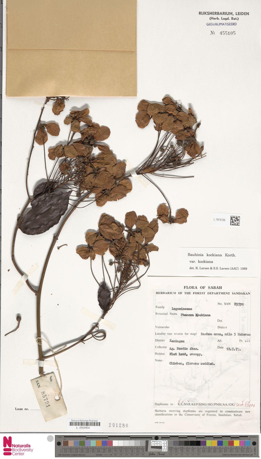 L.1975705 | Bauhinia kockiana var. kockiana