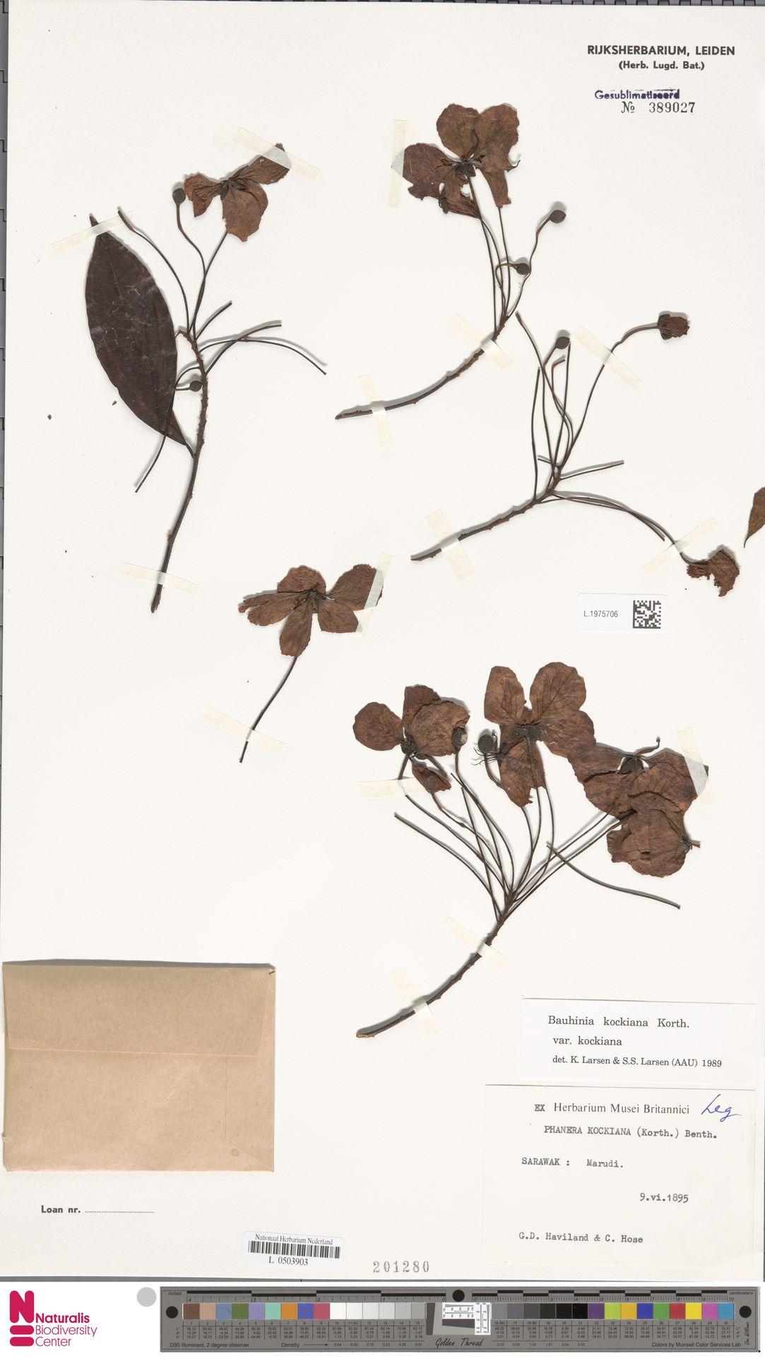 L.1975706 | Bauhinia kockiana var. kockiana