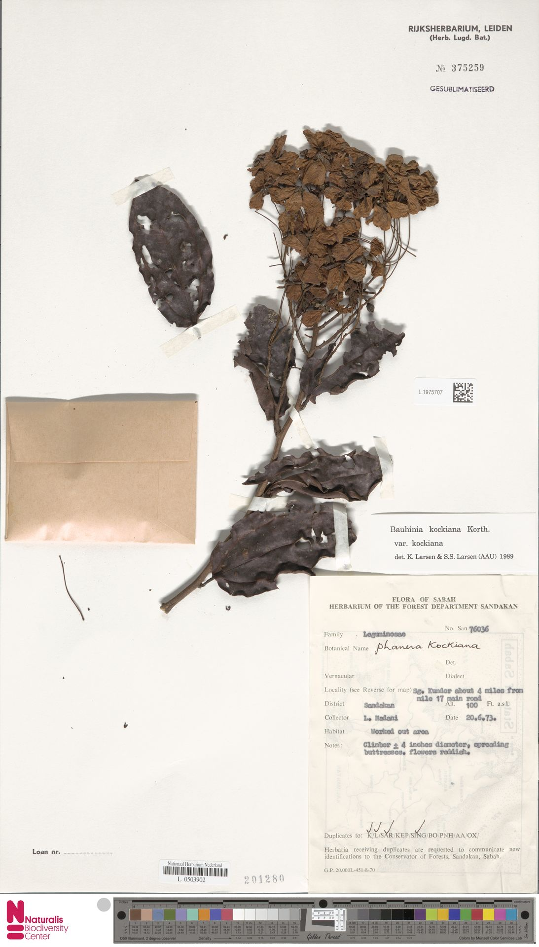 L.1975707 | Bauhinia kockiana var. kockiana