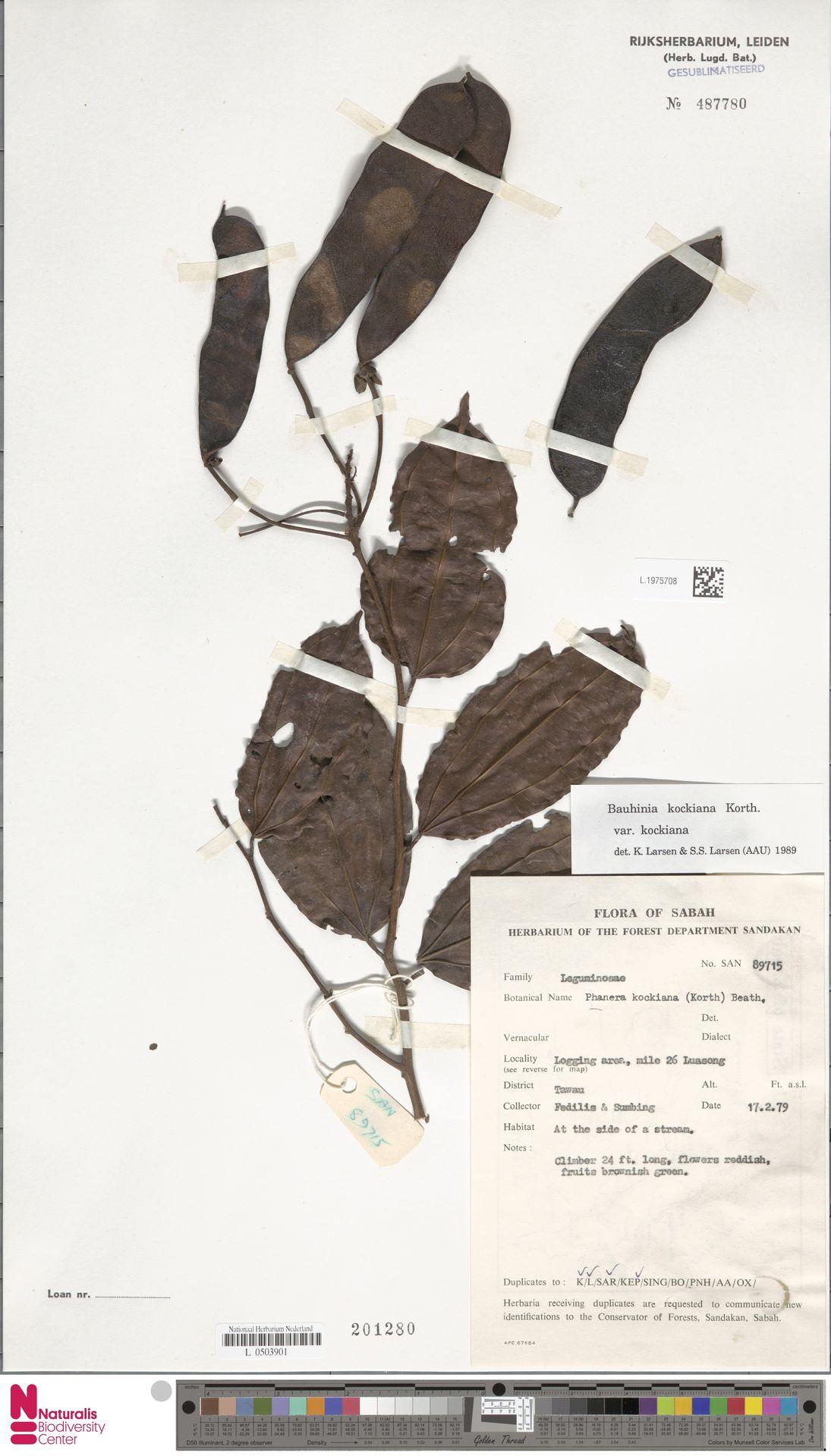 L.1975708 | Bauhinia kockiana var. kockiana
