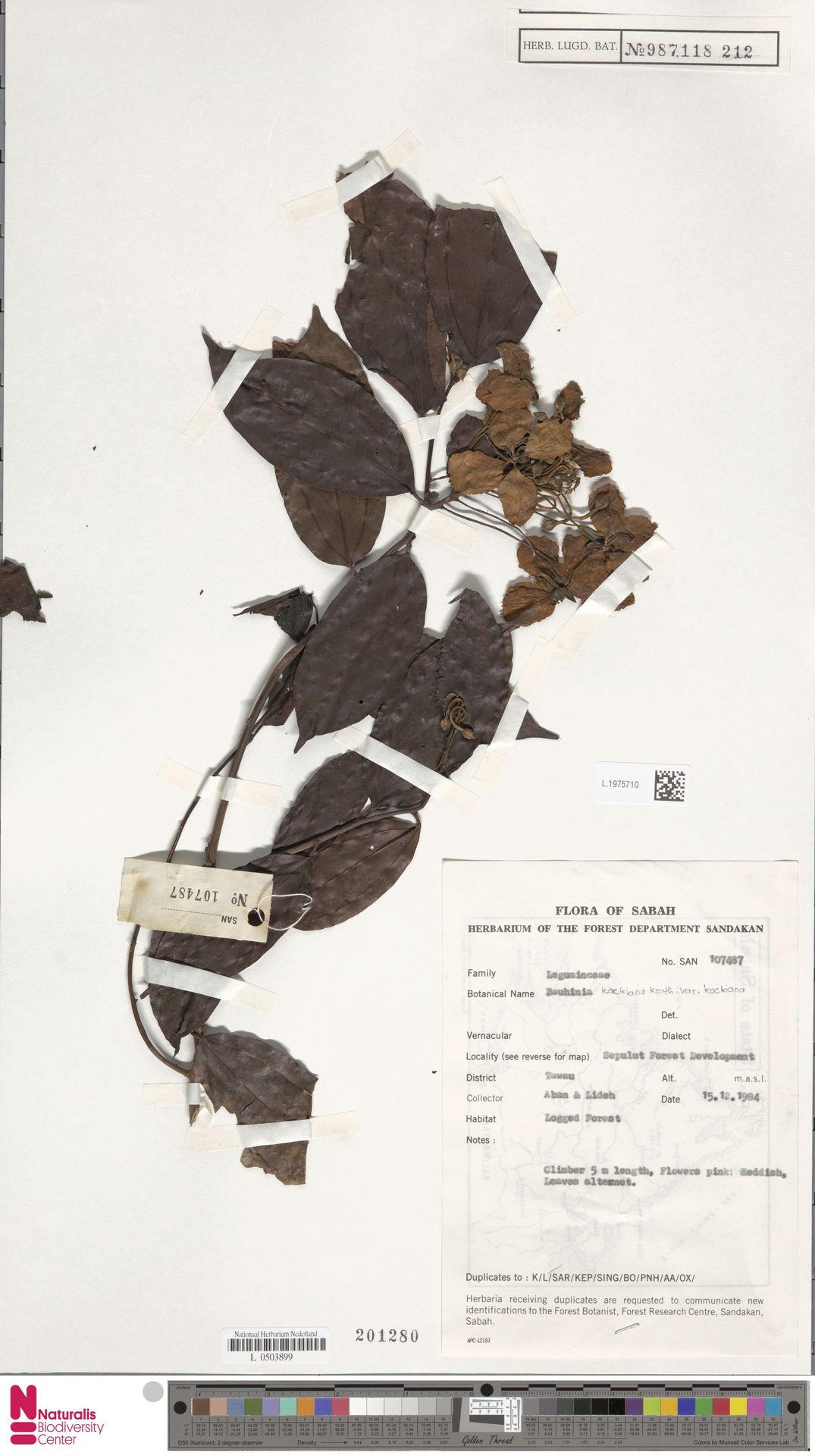 L.1975710 | Bauhinia kockiana var. kockiana