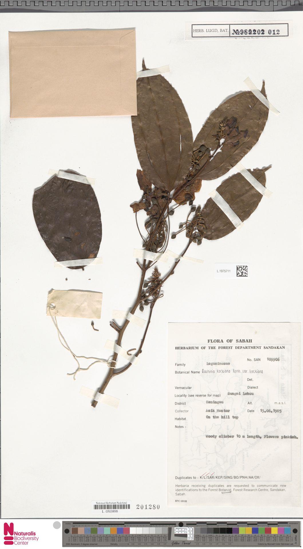 L.1975711 | Bauhinia kockiana var. kockiana