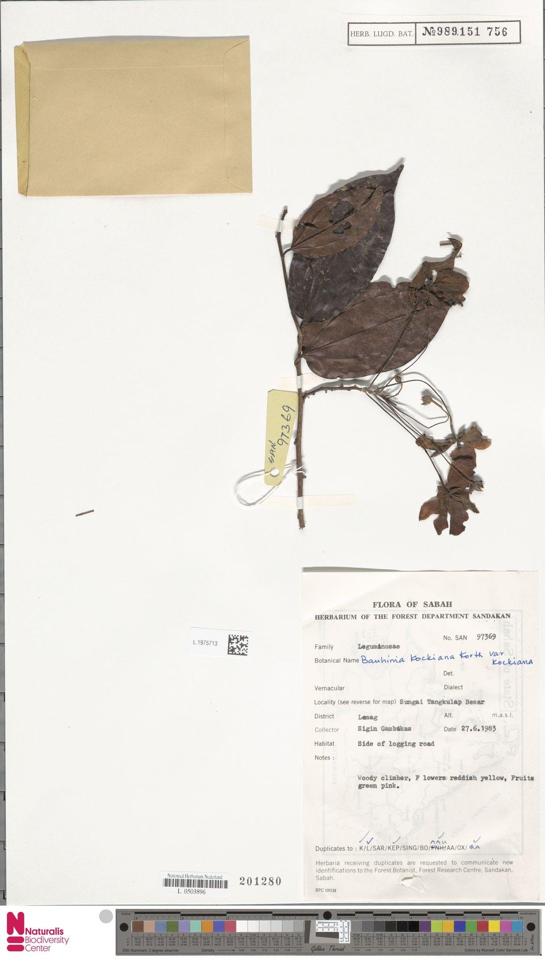 L.1975713   Bauhinia kockiana var. kockiana