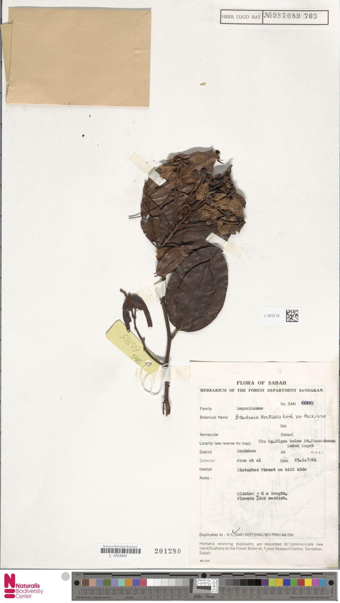 L.1975714 | Bauhinia kockiana var. kockiana