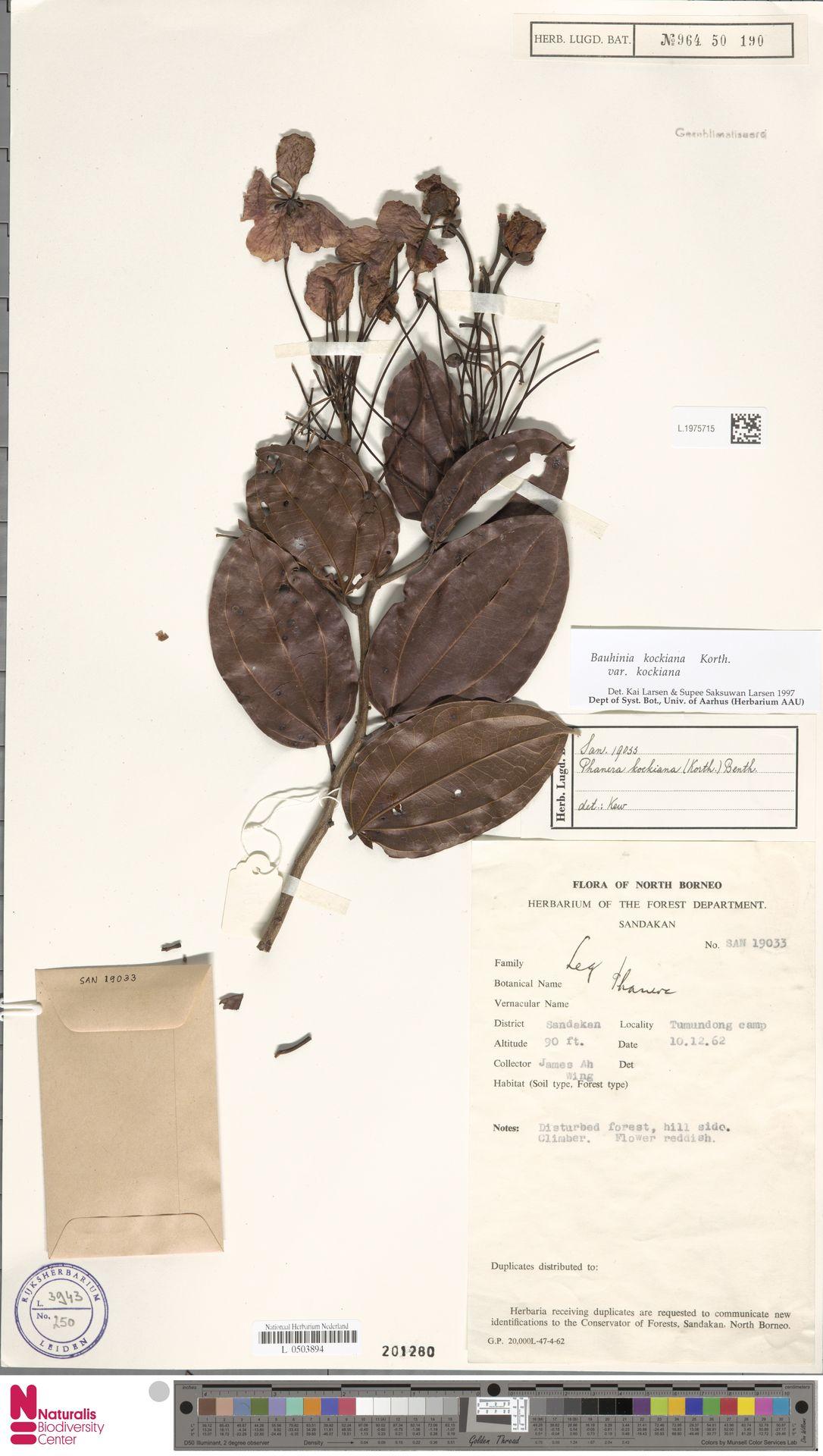 L.1975715 | Bauhinia kockiana var. kockiana