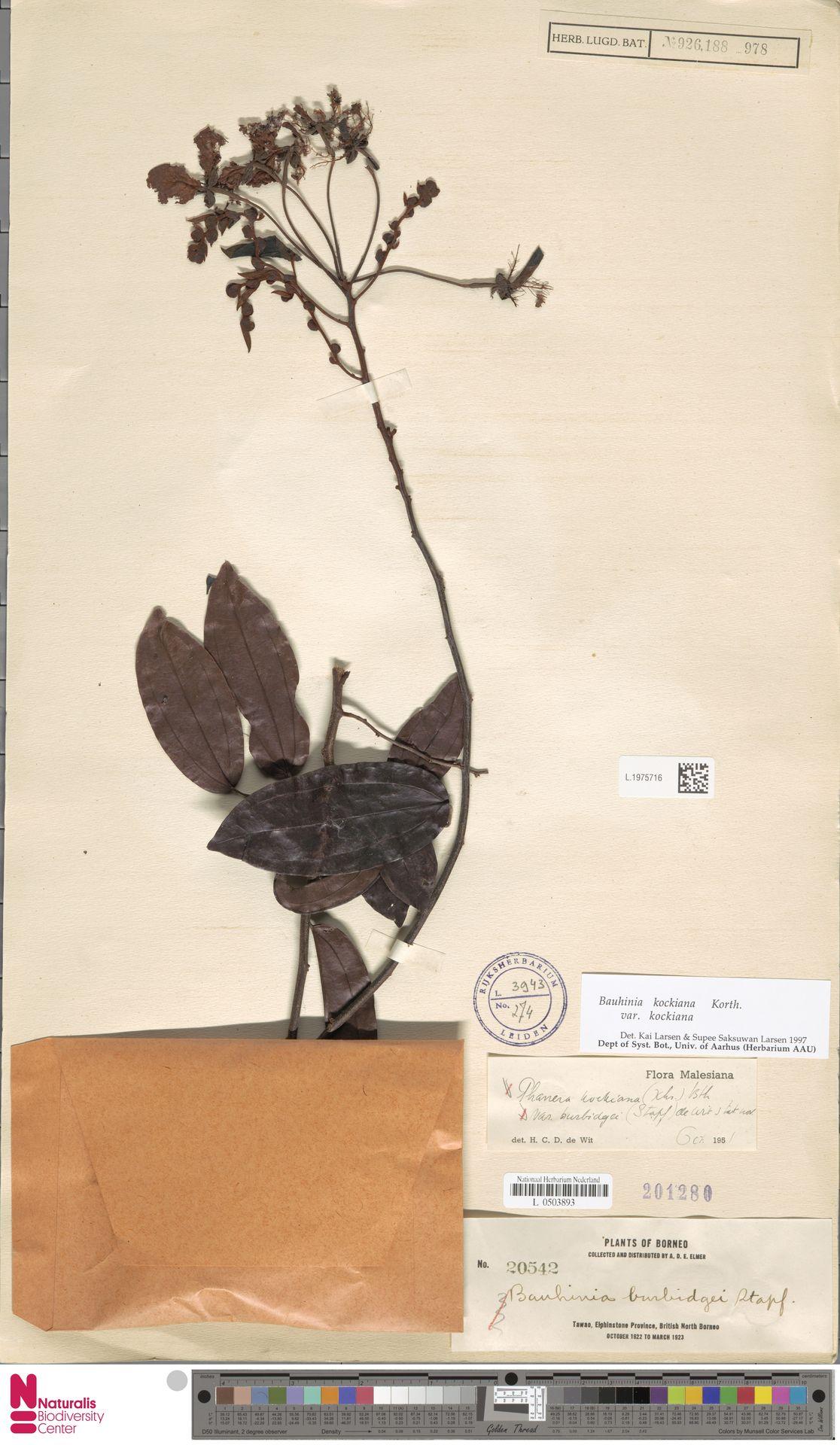 L.1975716 | Bauhinia kockiana var. kockiana