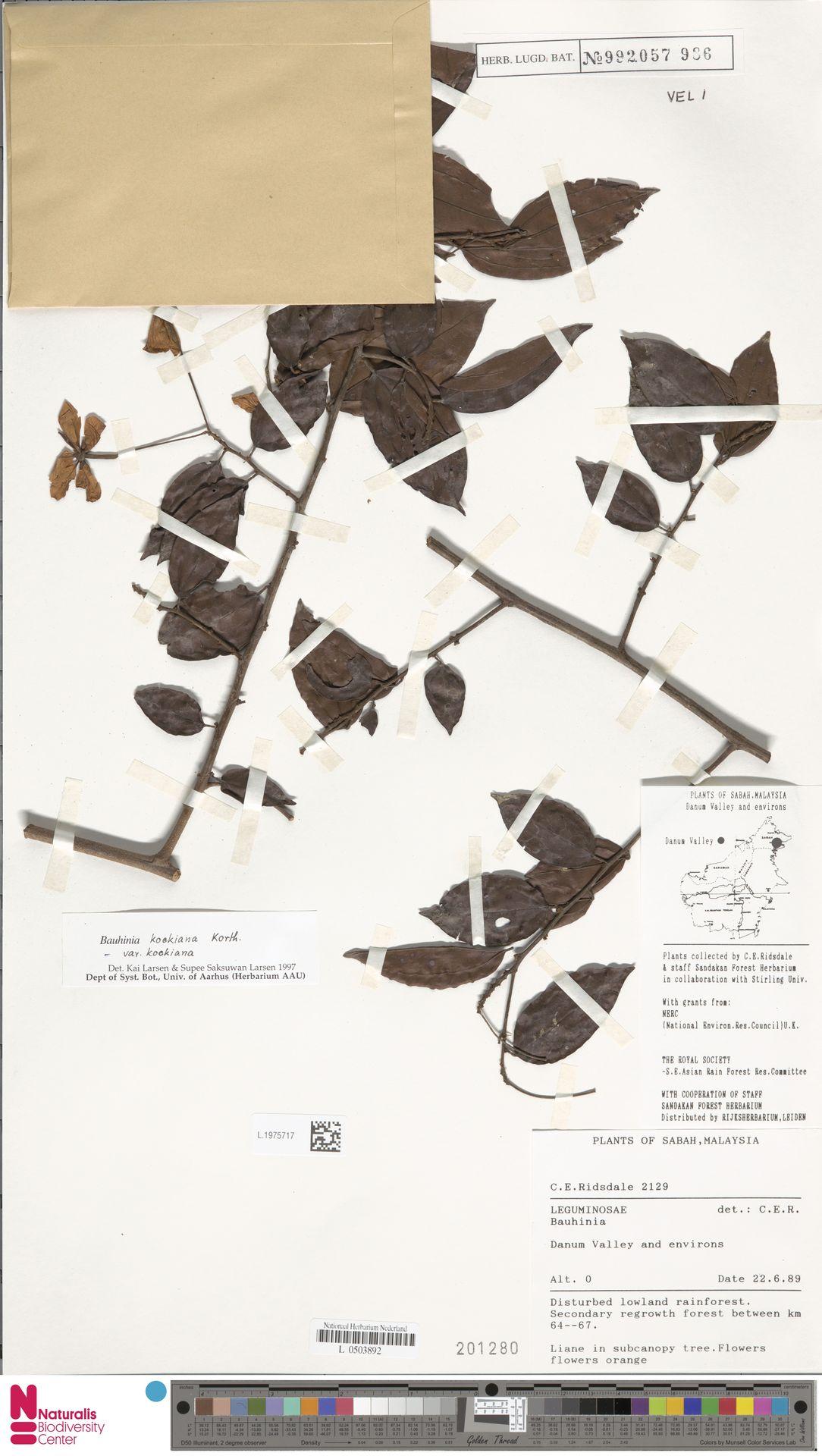 L.1975717 | Bauhinia kockiana var. kockiana