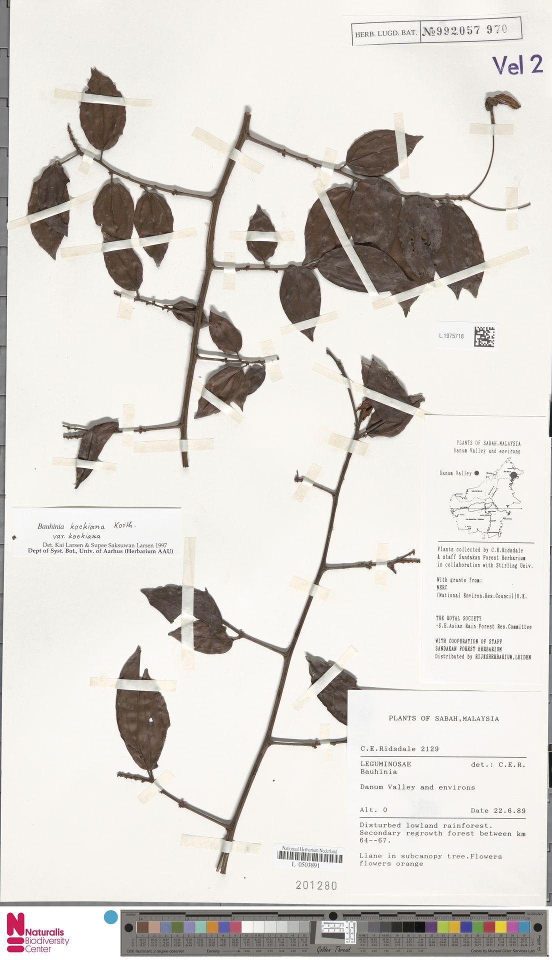 L.1975718 | Bauhinia kockiana var. kockiana