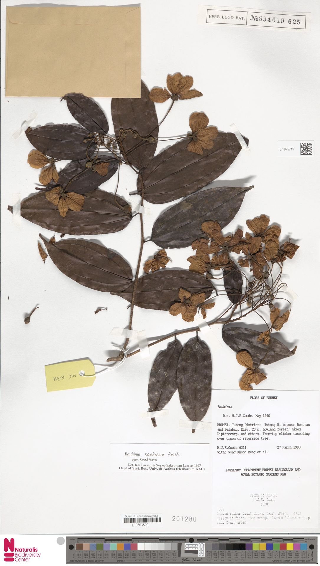 L.1975719 | Bauhinia kockiana var. kockiana