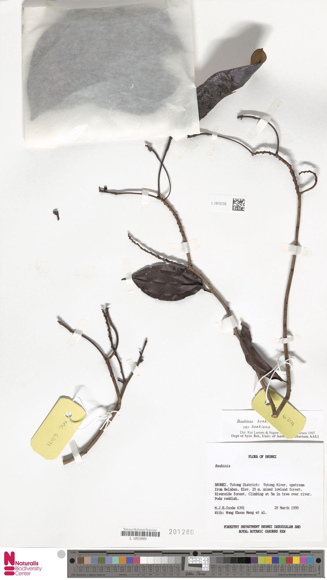 L.1975720 | Bauhinia kockiana var. kockiana