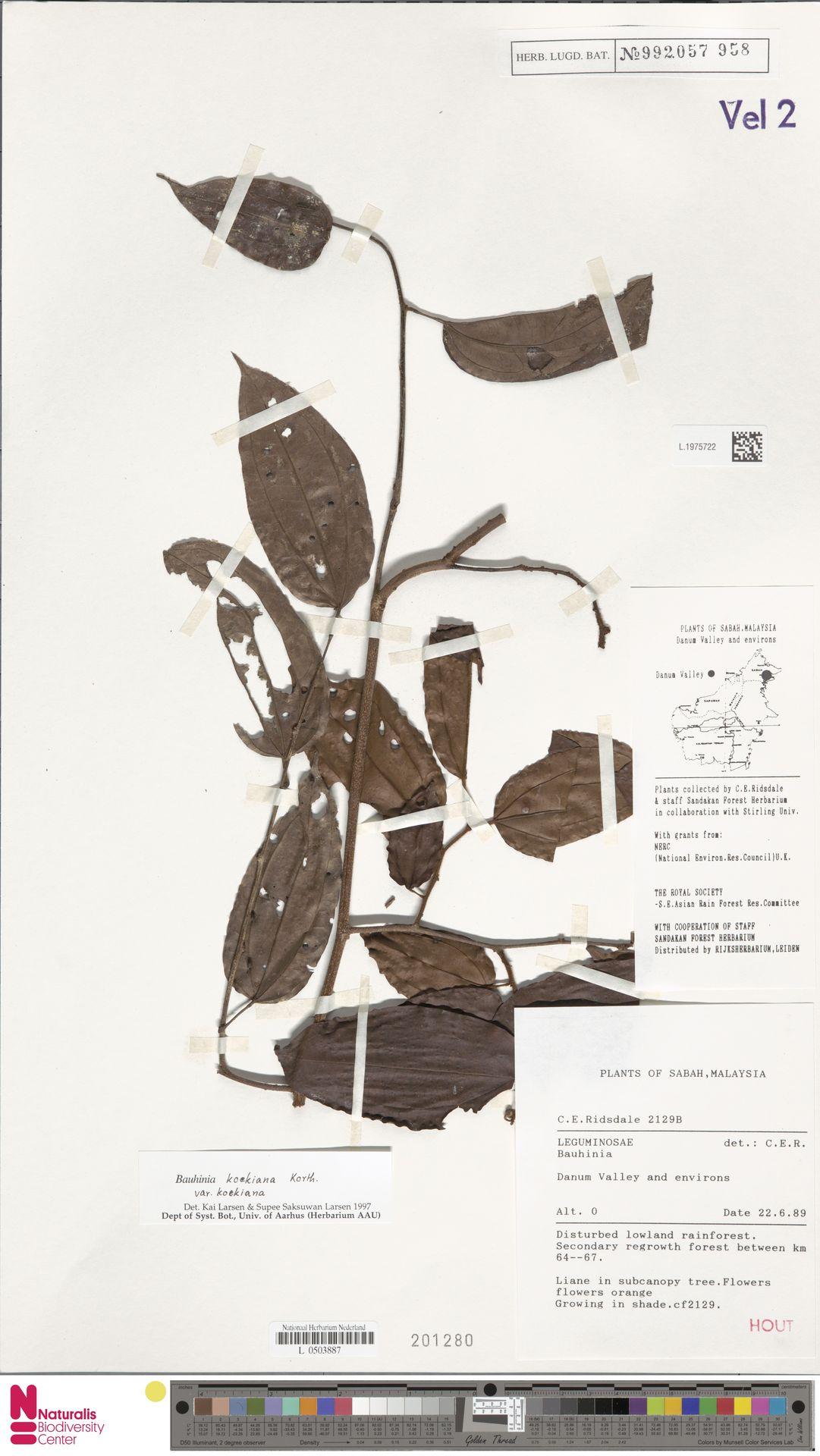 L.1975722 | Bauhinia kockiana var. kockiana